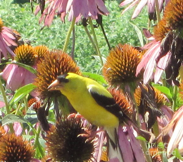 Photograph - Goldfinch In The Thistles by Kathie Chicoine