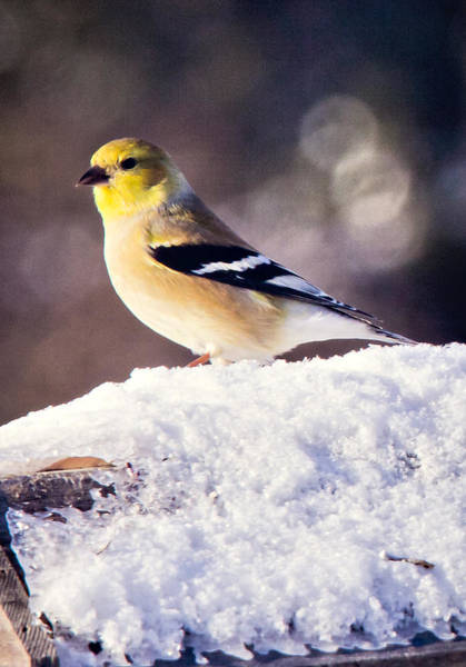 Photograph - Goldfinch In Winter by Albert Seger
