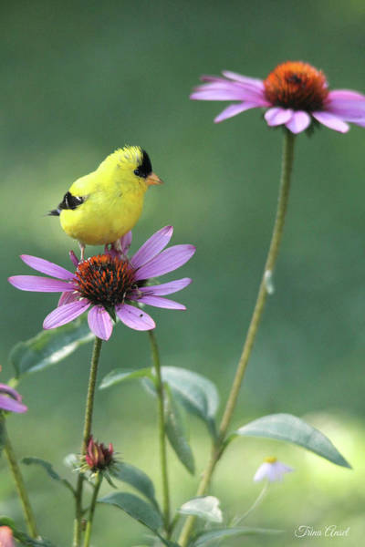 Photograph - Goldfinch On A Coneflower by Trina Ansel