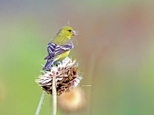 Photograph - Goldfinch On A Thistle by Judi Dressler