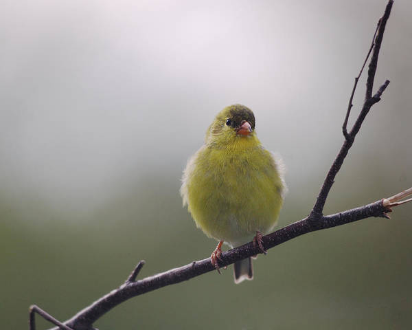 Goldfinch Photograph - Goldfinch Puffball by Susan Capuano