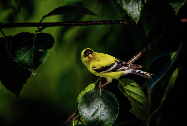 Photograph - Goldfinch by Randy Hall