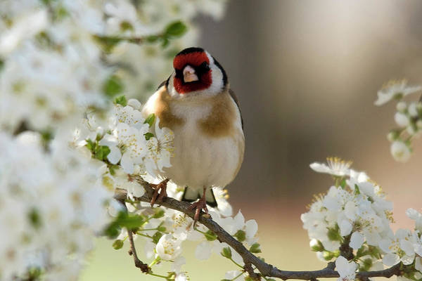 Photograph - Goldfinch Spring Blossom by Cliff Norton