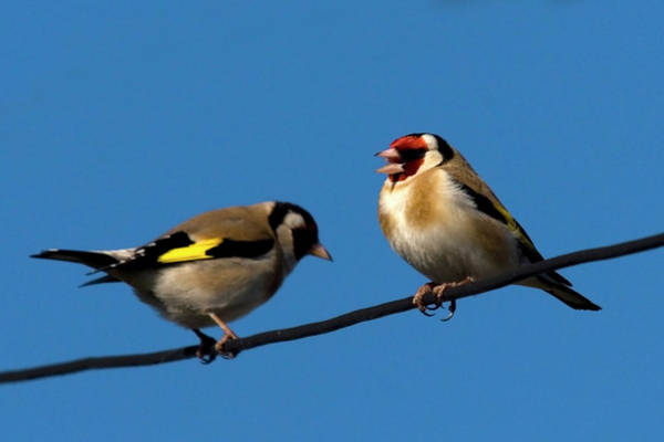 Photograph - Goldfinch Spring  by Cliff Norton
