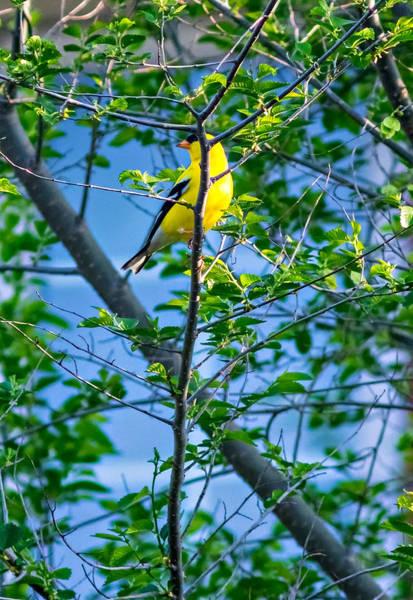 Southern Ontario Photograph - Goldfinch by Steve Harrington