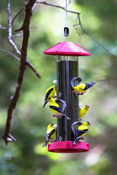 Photograph - Goldfinches 2016 01 by Jim Dollar