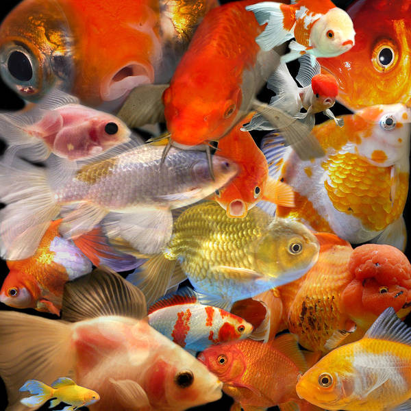 Photograph - Goldfish by Andrew Fare