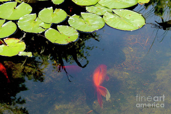 Lilly Pad Painting - Goldfish Pond by Corey Ford