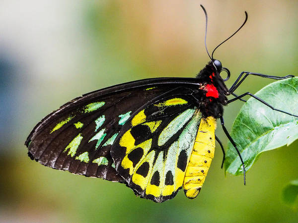 Photograph - Goliath Birdwing Butterfly by Robin Zygelman