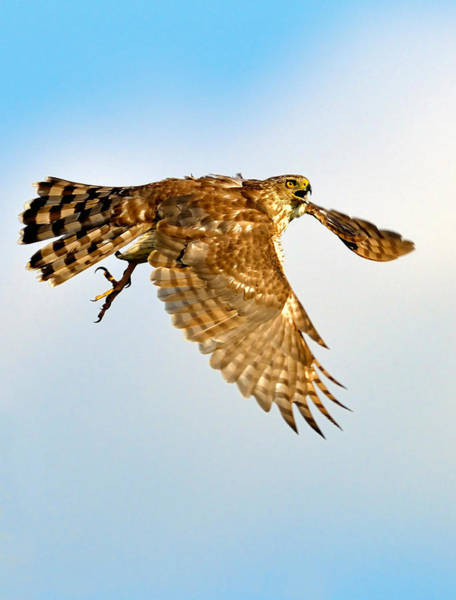 Photograph - Good Hawk Hunting by William Jobes