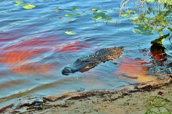 Photograph - Good Morning Alligator by Cynthia Guinn