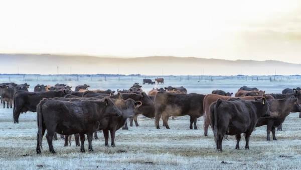 Photograph - Good Morning Cows by Belinda Greb