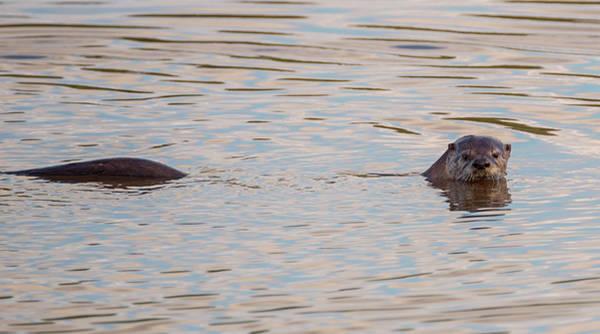Photograph - Good Morning Otter by Loree Johnson