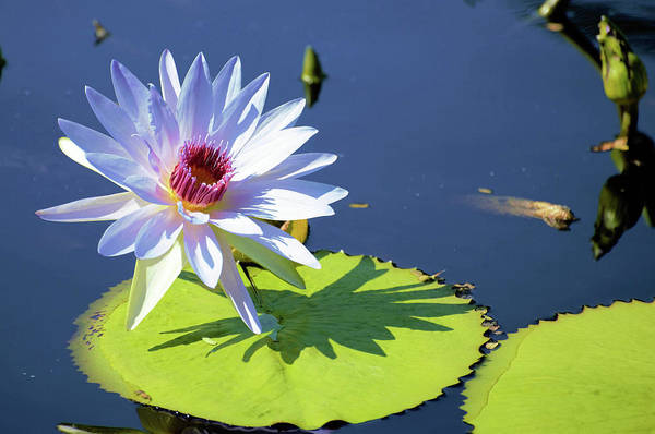 Claude Monet Photograph - Good Morning Water Lily by Don Columbus