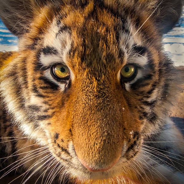 Photograph - Goofy Tiger Cub by Rikk Flohr