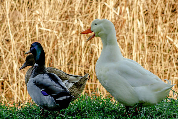 Photograph - Goose And Ducks by Wolfgang Stocker