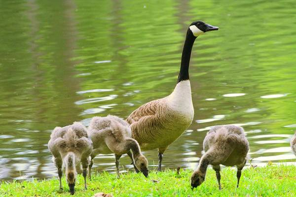 Photograph - Goose And Goslings by Lisa Wooten