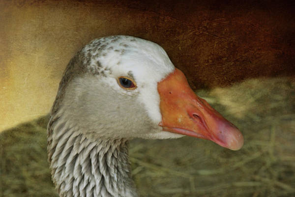Gander Photograph - Goose - Domestic Greylag by Nikolyn McDonald