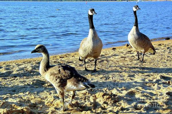 Photograph - Goose, Gander, And Gosling by Joe Lach
