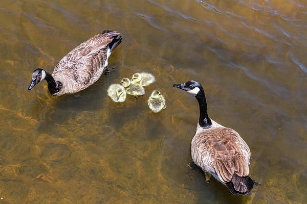 Gander Photograph - Goose  Gander And Goslings by James BO Insogna