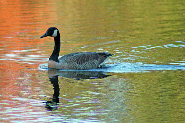 Photograph - Goose In Pond by Bill Barber