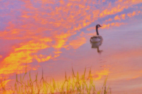 Goose Digital Art - Goose In Sky Reflection by Randy Steele