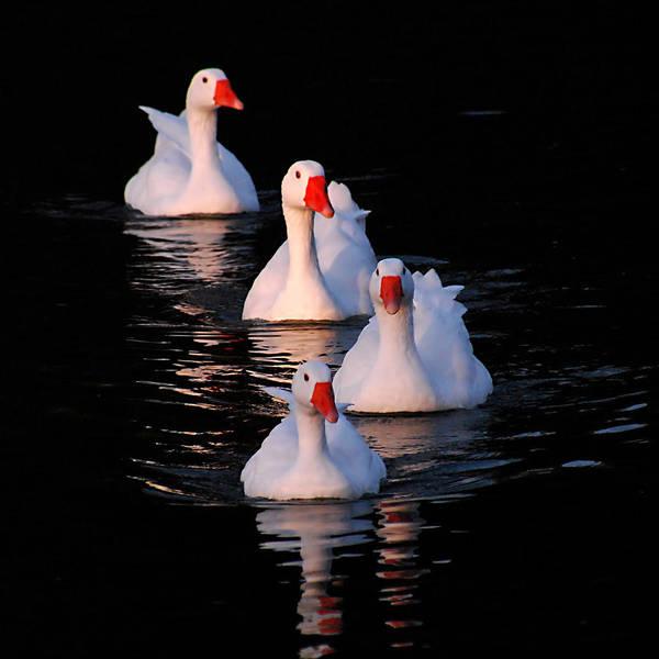Photograph - Goose Parade by Howard Bagley