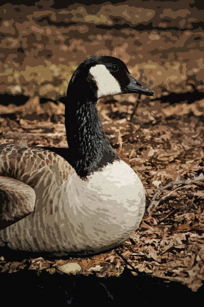 Laying Out Photograph - Goose Portrait by Marnie Patchett