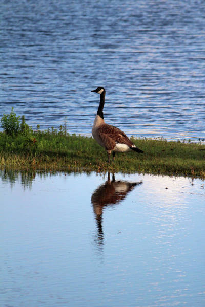 Photograph - Goose Reflection by Cynthia Guinn