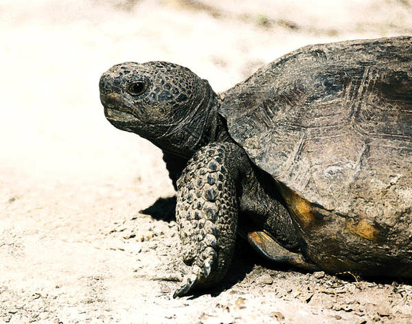 Tortoise Shell Photograph - Gopher Tortoise Portrait by Rebecca Brittain