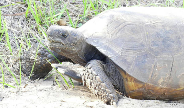 Photograph - Gopher Tortoise by Sally Sperry
