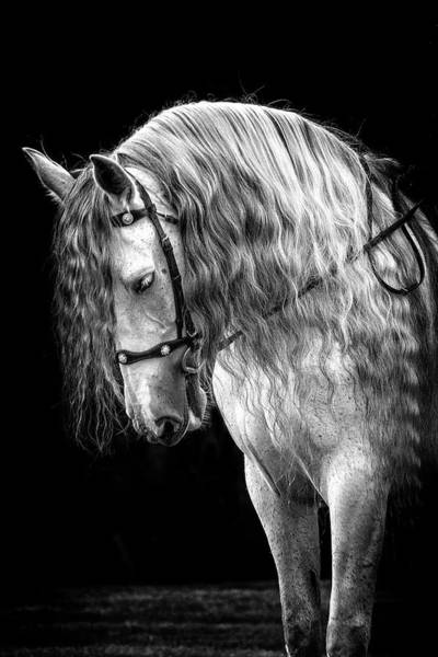 Photograph - Gorgeous Andalusian by Wes and Dotty Weber