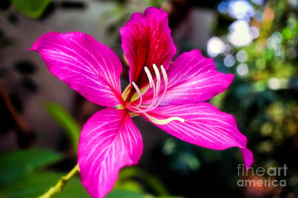 Hong Kong Orchid Photograph - Gorgeous Bauhina by Sue Melvin