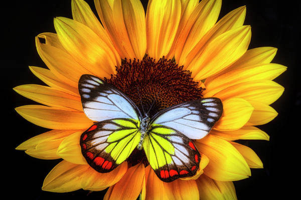 Photograph - Gorgeous Butterfly On Sunflower by Garry Gay