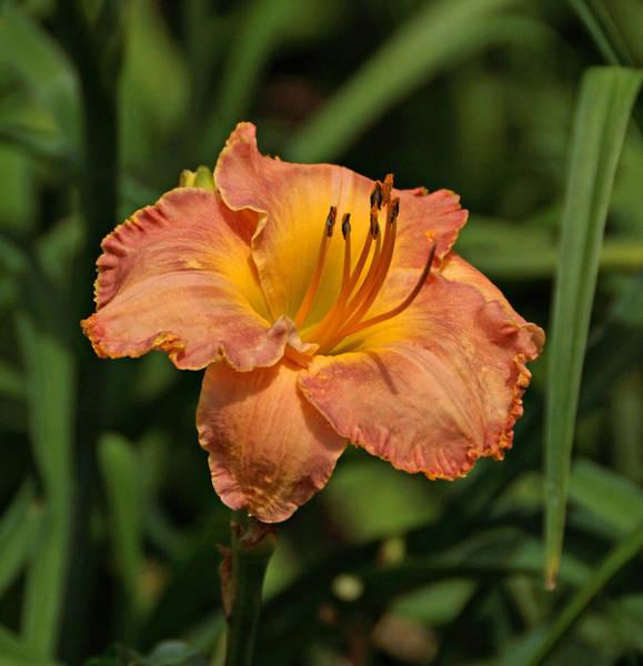 Photograph - Gorgeous Daylily by Sandy Keeton