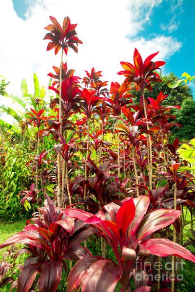 Photograph - Gorgeous Tropical Red Ti Wailua Nui Maui Hawaii by Sharon Mau