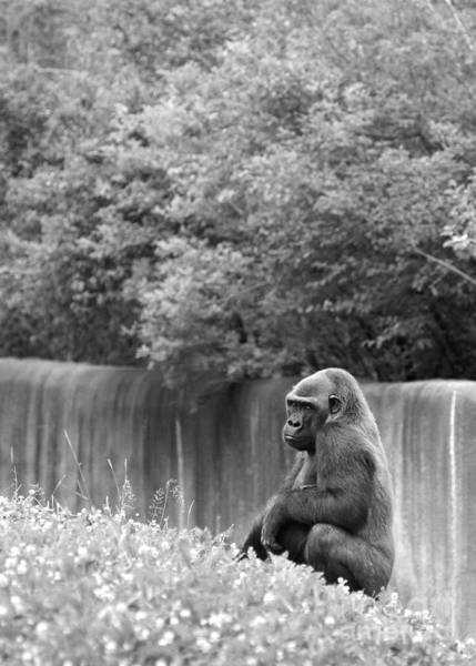 Photograph - Gorilla In Black And White by Angela Rath
