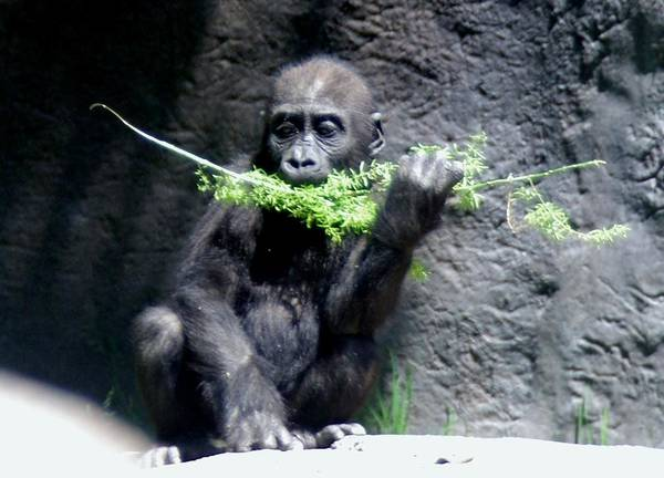 Photograph - Gorilla Baby Mary Joe Eating by Phyllis Spoor