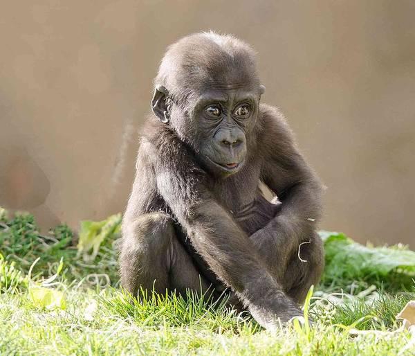 Photograph - Gorilla Baby by William Bitman