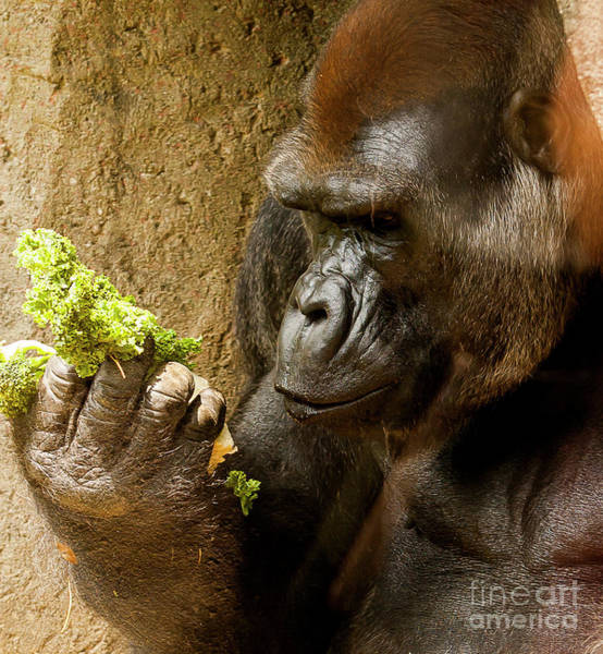 Photograph - Gorilla Examining Food by Michael D Miller