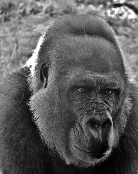 Photograph - Gorilla Head Shot by Cynthia Guinn