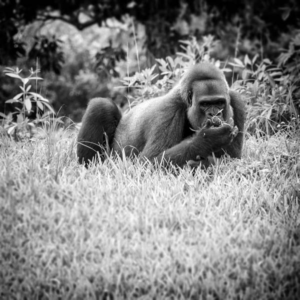 Photograph - Gorilla Lounging by Lynn Palmer