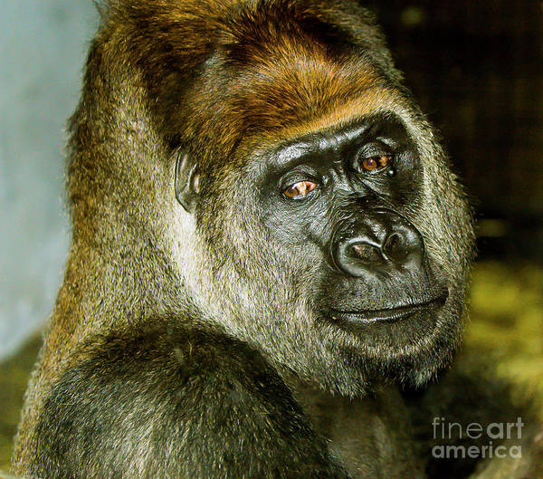 Photograph - Gorilla by Michael D Miller