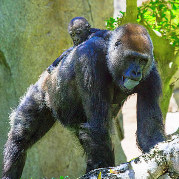 Wall Art - Photograph - Gorilla Mother And Baby by Garry Gay
