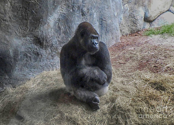Photograph - Gorilla Pose by Judy Hall-Folde