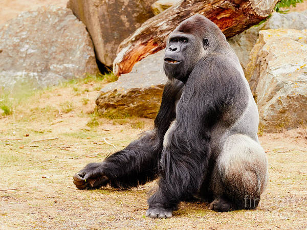 Gorilla Sitting Upright Art Print