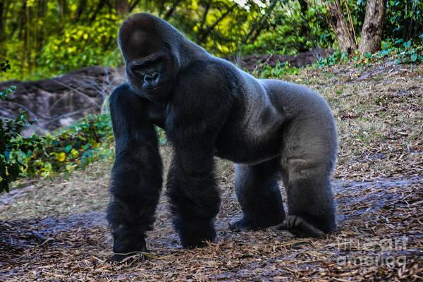 Photograph - Gorilla Troop Leader by Gary Keesler