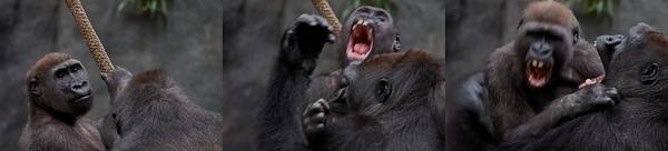 Wall Art - Photograph - Gorillas Fighting by Michele Stoehr