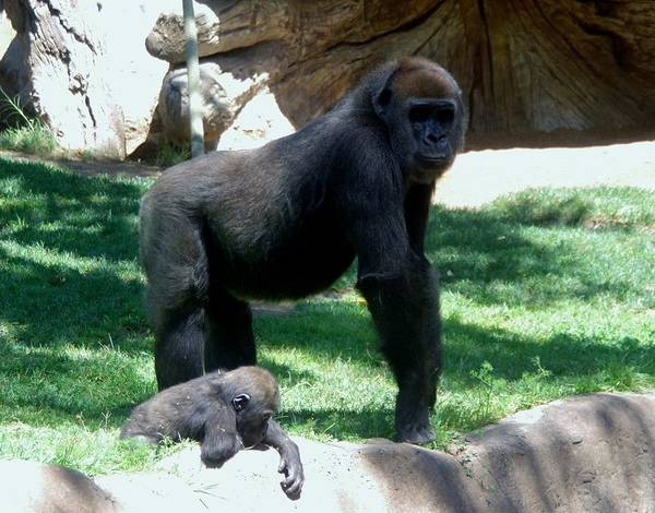 Photograph - Gorillas Mary Joe Baby And Emonty Mother 6 by Phyllis Spoor