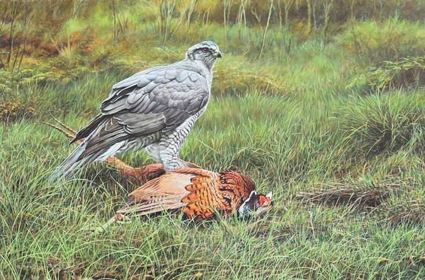 Painting - Goshawk by Alan M Hunt